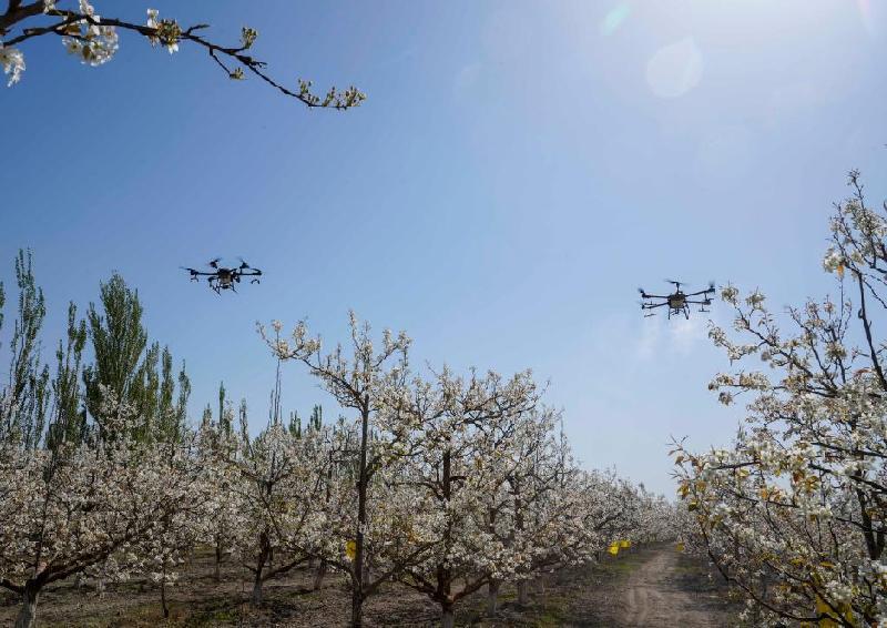新華全媒+|新疆:梨農授粉用上無人機